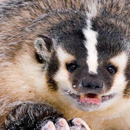 Барсуки станут самыми опасными животными в Far Cry Primal