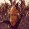 Анонсирована головоломка про говорящую кукурузу Maize
